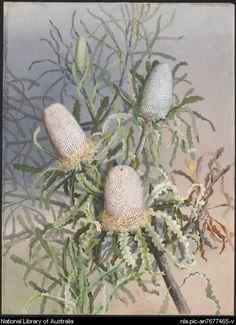 Rowan, Ellis, 1848-1922. Banksia prionotes (Family Proteaceae) [picture]