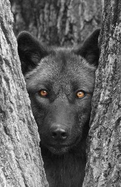 Beautiful gray wolf