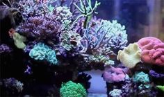 Reefkeeping Gangnam Style - South Korea is home to a vibrant reef aquaria scene. A popular trend with Korean aquascaping is raising the reef structure far above the aquarium floor to create a top half brimming with coral growth while the lower half is largely a shaded cryptic zone.