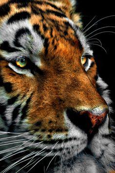 Rasputin, Siberian Tiger by earlene Cute Baby Animals, Animals And Pets, Wild Animals, Beautiful Cats, Animals Beautiful, Wildlife Photography, Animal Photography, Gato Grande, Siberian Tiger