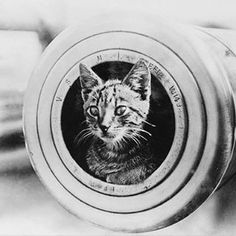 Photograph taken during the First World War.The feline mascot of the light cruiser HMAS Encounter  #australian #warmemorial #cat #kitty #gun #кошка, #пушка #pet #mascot #mammal #animal #feline #muzzle #catstagram #catsagram #cats #kitten #instacat #catsof