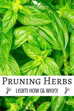 Learn How (and why) To Prune Herbs- Scratch Mommy-2 Diy Herb Garden, Herbs Garden, Indoor Herb Gardening, Spice Garden, Indoor Herbs, Organic Gardening Tips, Edible Garden, Hydroponic Gardening, Gardening Blogs