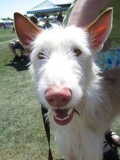 Wire-Haired Ibizan Hound- I know my next baby will be a Resue dog but I would love to have one of these Ibiizan hounds,  I think they are so cool looking