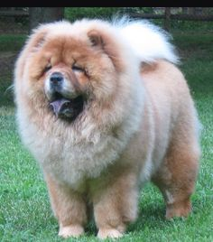Chow chows!