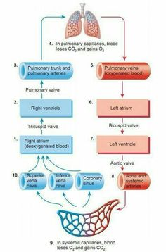 Blood flow of heart blood flow physiology path of blood flow more information more information blood flow through the heart diagram ccuart Gallery