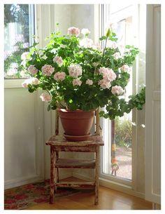 Garden Bulbs, Garden Planters, Indoor Garden, Indoor Plants, Love Garden, Dream Garden, Container Plants, Container Gardening, Pink Geranium
