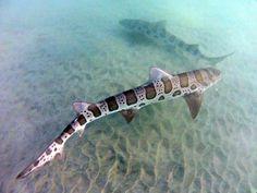 snorkeled with leopard sharks. Zebra Shark, Leopard Shark, Shark Jaws, Underwater Creatures, Ocean Creatures, Beautiful Creatures, Animals Beautiful, Shark Pictures, Shark Photos