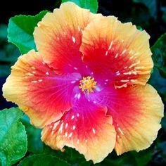 Tropical Hibiscus 'Meteor Shower'