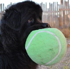 Have ball will play! newfie newfoundland puppy