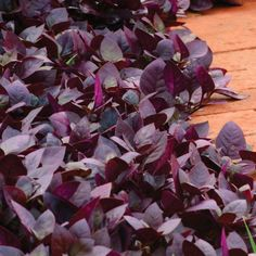 Alternanthera Purple Prince – Harris Seeds