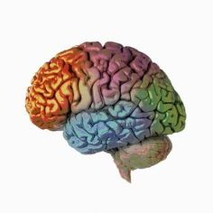 Photographic Print: Human Brain, Side View Poster by Ralph Hutchings : 16x16in