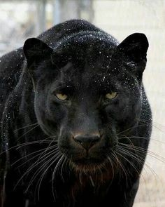 The third largest but strongest of all the Big Cats: The Black Panther, which incidentally could be a leopard or a jaguar! Beautiful Cats, Animals Beautiful, Stunningly Beautiful, My Black Is Beautiful, Absolutely Gorgeous, Big Cats, Cats And Kittens, Animals And Pets, Cute Animals