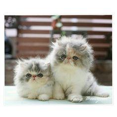 "Persian kittens ""Hello friends!"" http://instagram.com/p/ygKPwMRbas/ #PersianCat"