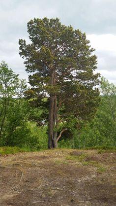 Verdens nordligste furu. Country Roads, Plants, Nature, Plant, Planting, Planets