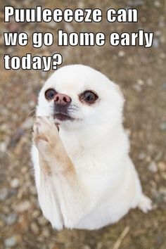 You will never know unless you ask right? Happy Friday Everyone! #Friday #Funny #Dog #Chihuahua #Work