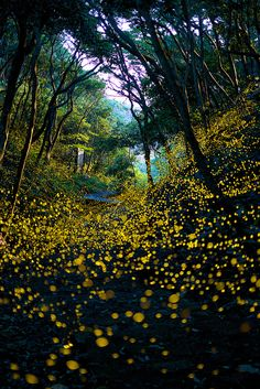 Into The Dream - See Firefly wild dance, Wakayama, Japan!!!!