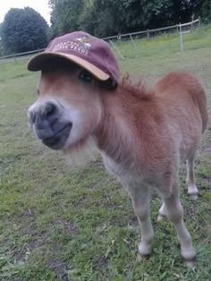 Mini Shetland Pony!