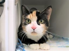 CHULA - 18243 - - Manhattan  *** TO BE DESTROYED 01/22/18 *** Choose CHULA! Young Calico with a small mammary mass needs your help at MACC!!! CHULA had been fed by tenants in a building but finally someone surrendered her to the shelter.  She is not happy and needs a place to decompress and call home again.  Please help this calico girl. -  Click for info & Current Status: http://nyccats.urgentpodr.org/chula-18243/