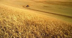 """HARVEST Collection ~ """"Amber Waves of Grain..."""" WHEAT crops grow around the world and have unique production cycles when it comes to planting and harvest seasons. Grain prices tend to fluctuate most during the growing season, as supply expectations can shift significantly due to planted acreage, weather, and growing conditions. In the United States and China, there are two seasonal wheat crops - spring wheat and winter wheat. Winter wheat accounts for nearly three-fourths of total U.S…"""