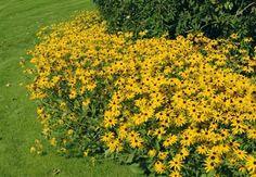 Rudbeckia fulgida goldsturm Tuin & Landschap | Tien vaste planten voor het openbaar groen