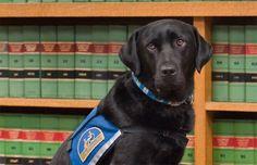 Conheça courthouse dogs, os cães são treinados para tranquilizar as testemunhas. A organização usa labradores e goldens retrievers.