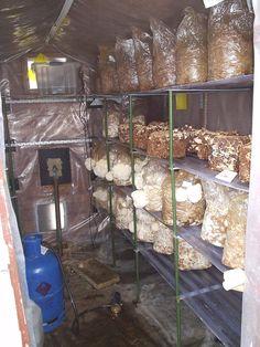 How to make a small shed a profitable mushroom production business - Gourmet and Medicinal Mushrooms - Shroomery Message Board #growingediblemushrooms #howtogrowmushrooms