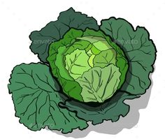 Download Free Graphicriver Cabbage Illustration #agriculture #cabbage #culinary #diet #element #foliage #food #fresh #green #greenery #head #healthy #illustration #isolated #kail #kale #leaf #natural #object #organic #produce #round #row #tasty #vector #vegetable #vegetarian #vitamin #white #whole