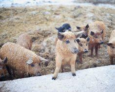 mangalitsa Non-Traditional Farm Animals   10 Uncommon Animals Found on The Farm