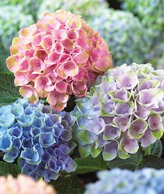 WEDDING FLOWERS 3 new hydrangea cultivars perfect for the Midwest! (Photo of Everlasting Revolution big leaf hydrangea courtesy of W. Atlee Burpee and Co. Hydrangea Seeds, Hortensia Hydrangea, Hydrangea Care, Hydrangea Macrophylla, Flower Seeds, Hydrangea Colors, Growing Hydrangea, Smooth Hydrangea, Perennials