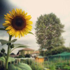#sunflower #garden #summertime