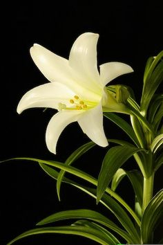 Easter Lillies grow extremely well in the Carolinas, and can stay in bloom from Spring well into the Summer.