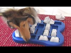 Collie Dog Solves Puzzle Toy, Part 1, tricks, trick For Gigi or Candy