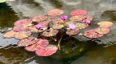 Chamomile Tea, Lily Pond, Pink, Painting, Color, Art, Art Background, Painting Art, Colour