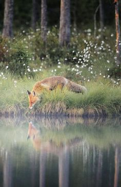 23 The amazing fox you've never seen - meowlogy