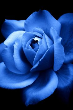 Blue rose by YUYU Photography