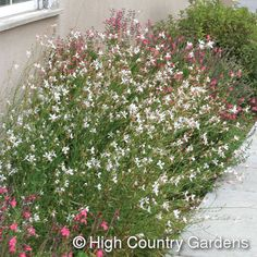 """Gaura lindheimeri 'Whirling Butterflies'Apple Blossom Grass  36"""" x 30"""" wide, (cutting propagated). This wildflower is a Texas native that has found a home over much of the southwestern U.S. 'Whirling Butterflies' blooms throughout the heat of the summer with its wispy flowering stems and bright white butterfly-shaped flowers. A tall, robust grower, 'Whirling Butterflies' is recommended to plant along hot walls in the back of south and west facing flower beds. Zones 5-10."""
