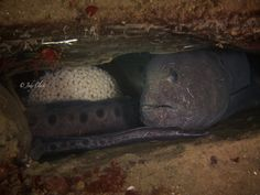 Jody Lynn Clark - ‎Wetpixel Underwater Photography - Sund Rock, Hood Canal, WA USA - Mama wolf eel and her egg mass