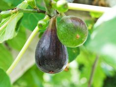 How To Grow a Fig Tree --> http://www.hgtvgardens.com/trees/guide-to-growing-fig-trees?soc=pinterest