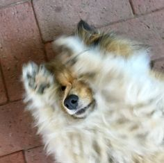 Naaaaaw !! Smooth Collie, Rough Collie, Cute Animal Memes, Cute Animals, Sheep Dogs, Filthy Animal, Shetland Sheepdog, Sheltie, Christmas Dog