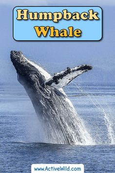 This incredible marine mammal is known for its spectacular leaps and mysterious song. Read this in-depth article to become a humpback expert! Whale Facts For Kids, Animal Facts For Kids, Humpback Whale Facts, Whales, Mysterious, Mammals, The Incredibles, Pictures, Baleen Whales