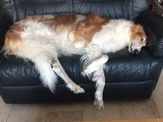 Borzoi with the loveseat all to himself