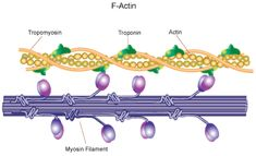 www.sigmaaldrich.com content dam sigma-aldrich life-science metabolomics enzyme-explorer f-actin.gif Sigma Aldrich, Cell Structure, Skeletal Muscle, Muscle Tissue, Anatomy And Physiology, Life Science, Google Search, Learning, Study