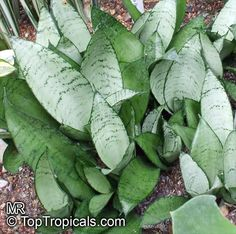 silver hahnii snake plant - Google Search
