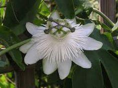 Passiflora 'White Wedding' .