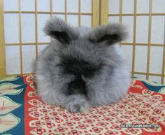 From Disapproving Rabbits- someday I'd like an Angora, but not til I have hardwood floors! And lots of time for brushing!