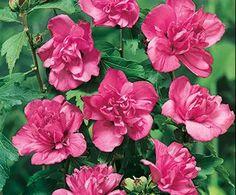 Rose of Sharon | Bloom IQ