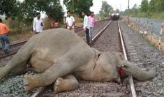 Sign the petition to help stop the tragic epidemic of elephants being killed by speeding and poorly regulated freight trains in India