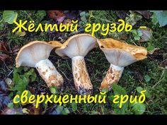 Жёлтый груздь - сверхценный гриб. - YouTube