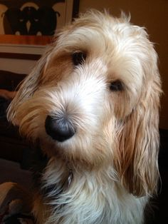 Grand Basset Griffon Vendeen Kitty, Dog of pet parent Helen Petit Basset Griffon Vendeen, Griffon Dog, Pet Dogs, Dogs And Puppies, Dog Cat, Doggies, Cute Baby Animals, Animals And Pets, Bloodhound Dogs
