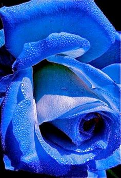 beauty of a rose